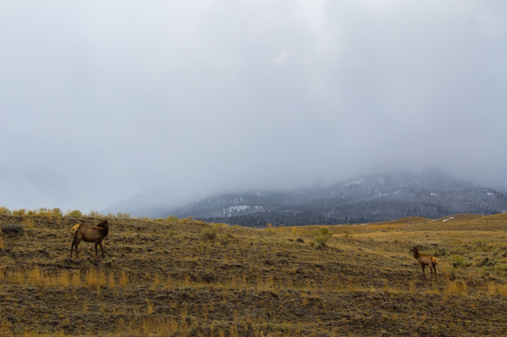 Elk in Gardner, Montana